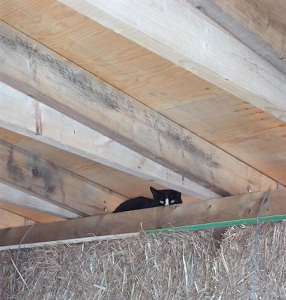 Shed Cat in the rafters